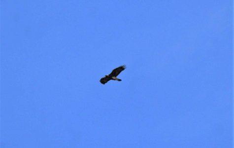 Spring swoops Golden Eagles into flight